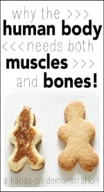 Why-the-human-body-needs-both-muscles-and-bones-a-hands-on-demonstration-500x779