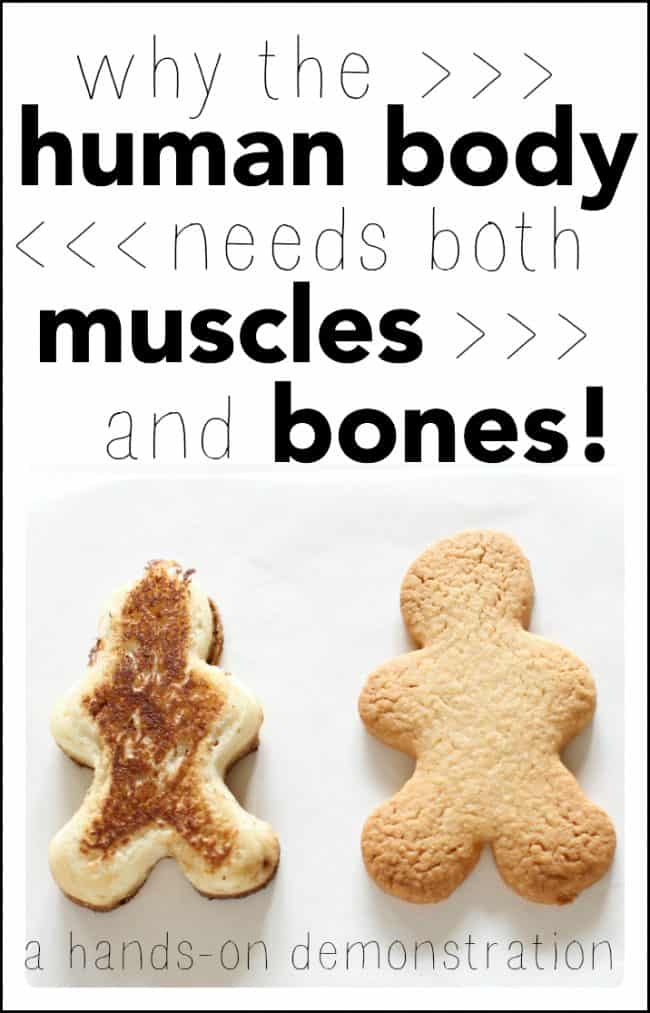 Science project - Why the human body needs both muscles and bones (a hands-on demonstration)